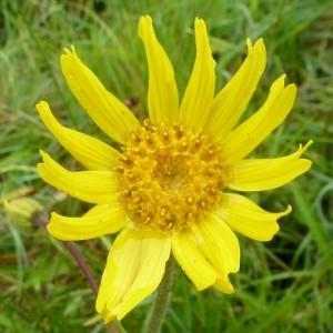 Arnica montana subsp. atlantica