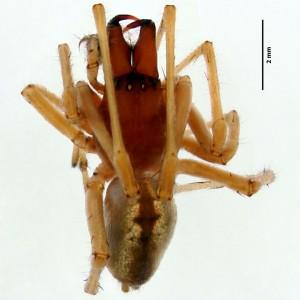 Cheiracanthium jorgeense