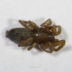 Haplodrassus minor