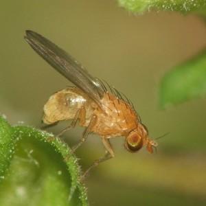Homoneura mediospinosa