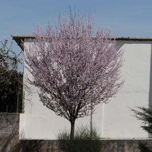 árvore em floração © Ian & Clare Smith