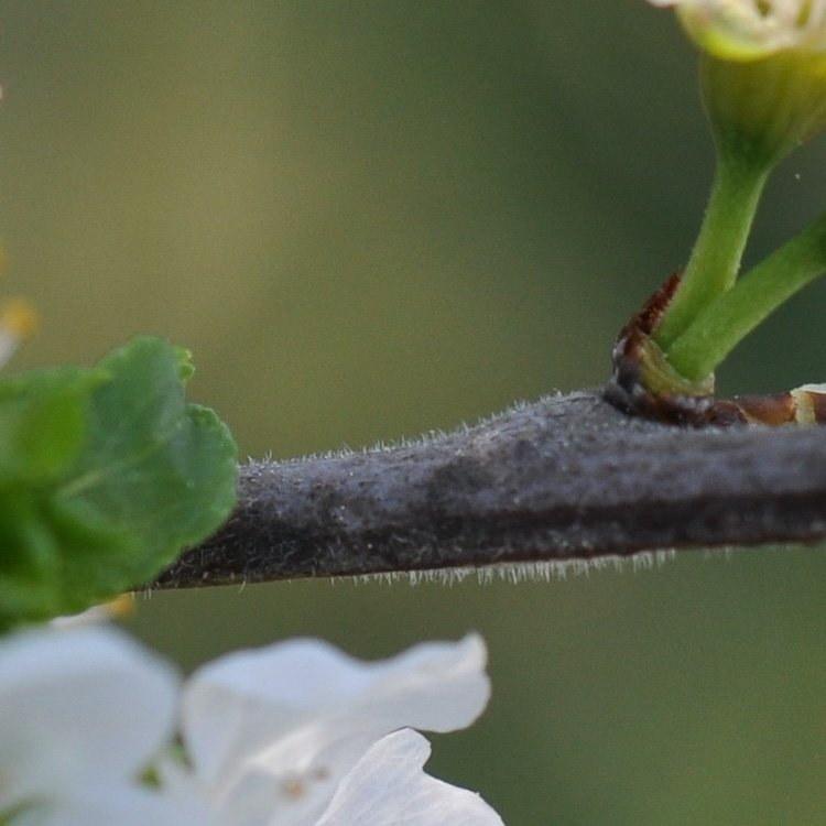 Novo raminho viloso © Ian & Clare Smith
