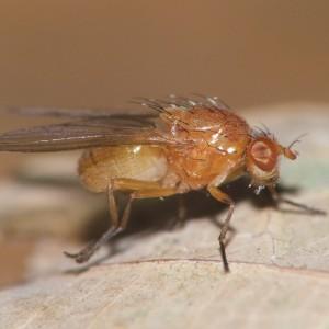 Sapromyza tuberculosa