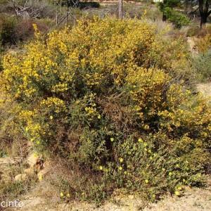 Stauracanthus genistoides