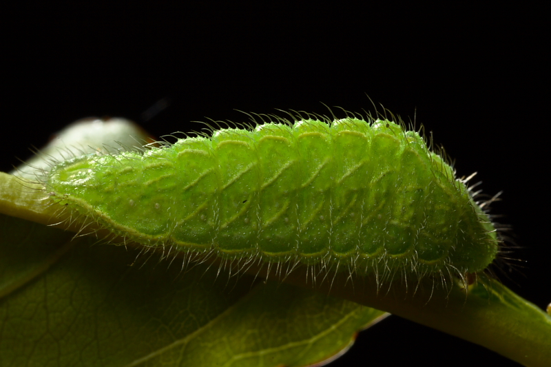 Larva © Pedro Pires