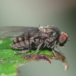Lindneromyia dorsalis