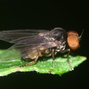 Protoclythia modesta
