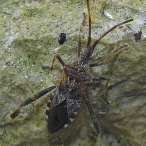 Leptoglossus occidentalis