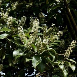 Prunus azorica