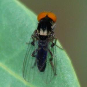 Callomyia dives