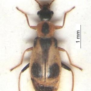 Attalus pictus