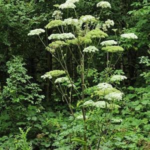 Angelica sylvestris subsp. bernardae