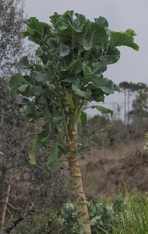 Planta de couve-galega © Ian & Clare Smith