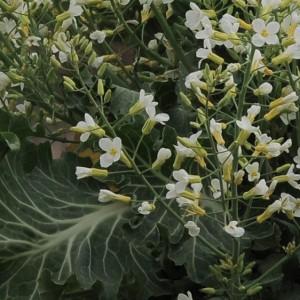 Couve-galega - flores © Ian & Clare Smith