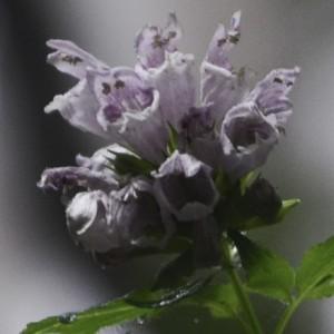Cedronella canariensis