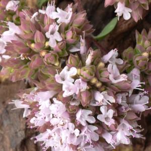 Origanum vulgare subsp. vulgare