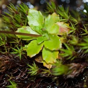 Saxifraga stellaris subsp. stellaris