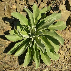 Verbascum thapsus subsp. thapsus