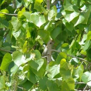 Populus nigra subsp. nigra