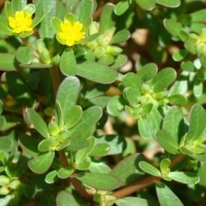 Portulaca oleracea subsp. oleracea