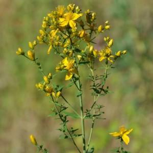 Hypericum perforatum subsp. perforatum