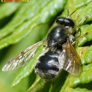Adoxomyia flavipes