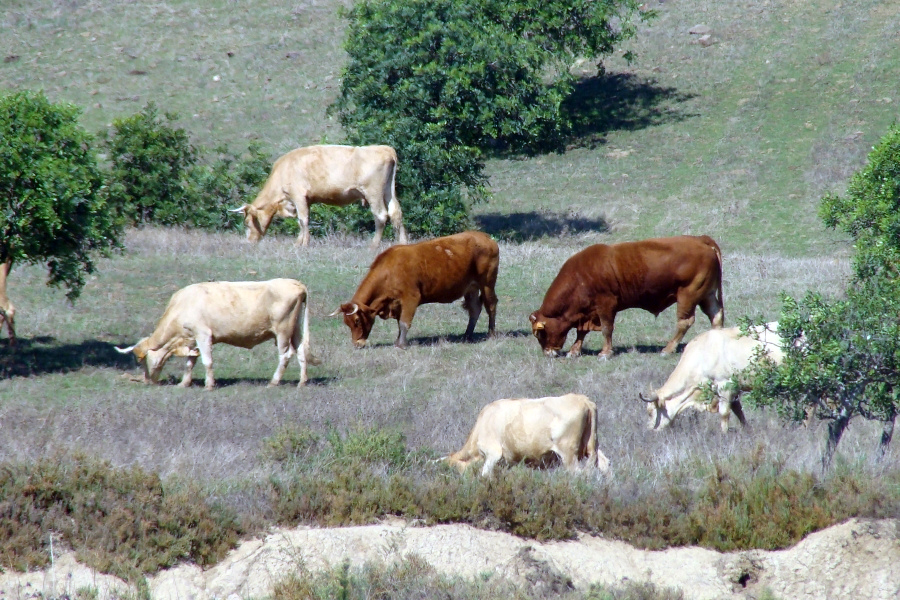 As vacas são herbívoras © Valter Jacinto