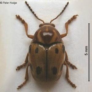 Cryptocephalus muellerianus