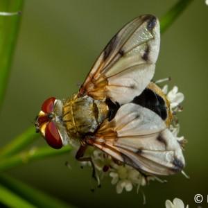 Ectophasia leucoptera