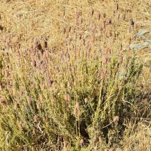 Lavandula pedunculata subsp. sampaiana