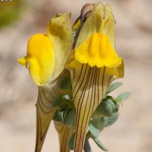 Linaria polygalifolia subsp. lamarckii