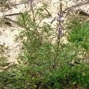 Lupinus angustifolius subsp. reticulatus