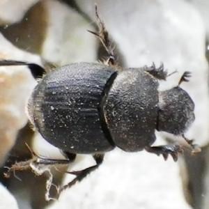 Onthophagus emarginatus