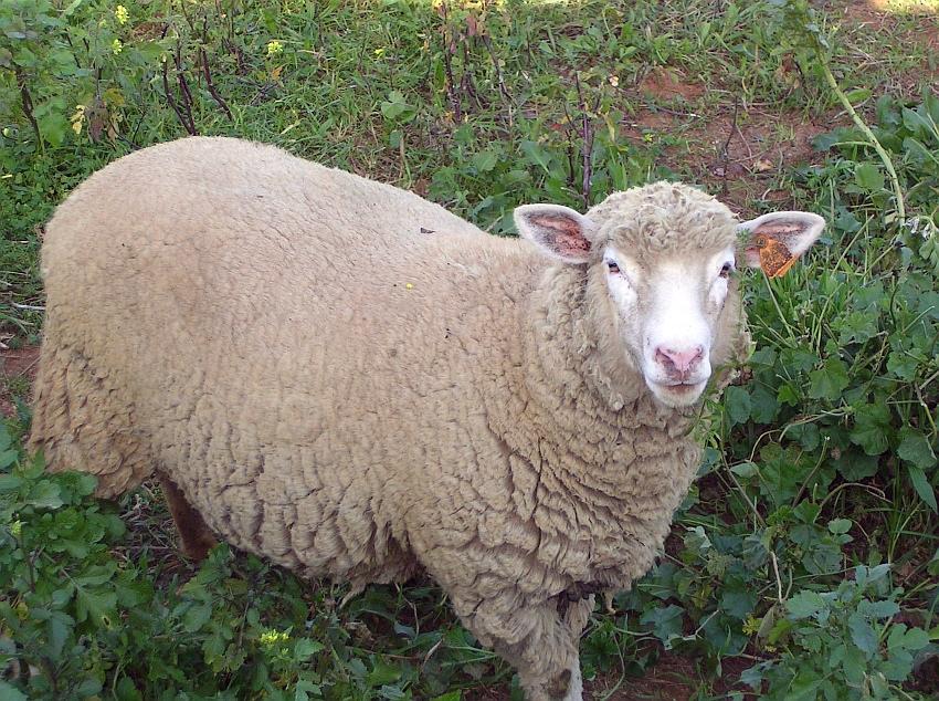 Fêmea (ovelha) © Valter Jacinto