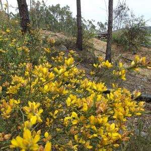 Pterospartum tridentatum subsp. lasianthum