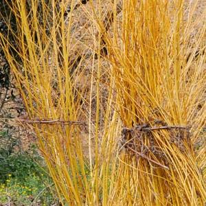 Salix alba subsp. vitellina