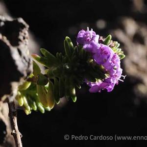 Micromeria varia subsp. thymoides