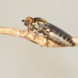 Scenopinus verrucosus