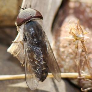 Tabanus maculicornis