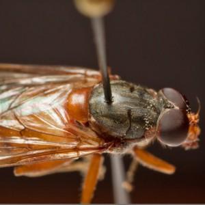 Brachyopa scutellaris