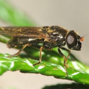 Cheilosia vernalis