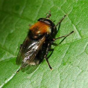 Criorhina berberina
