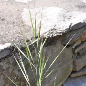 Anisantha diandra