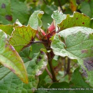Cistus populifolius subsp. major