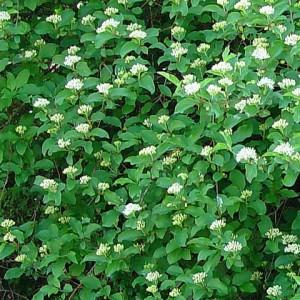 C Aguiar (CIMO) (flora-on)