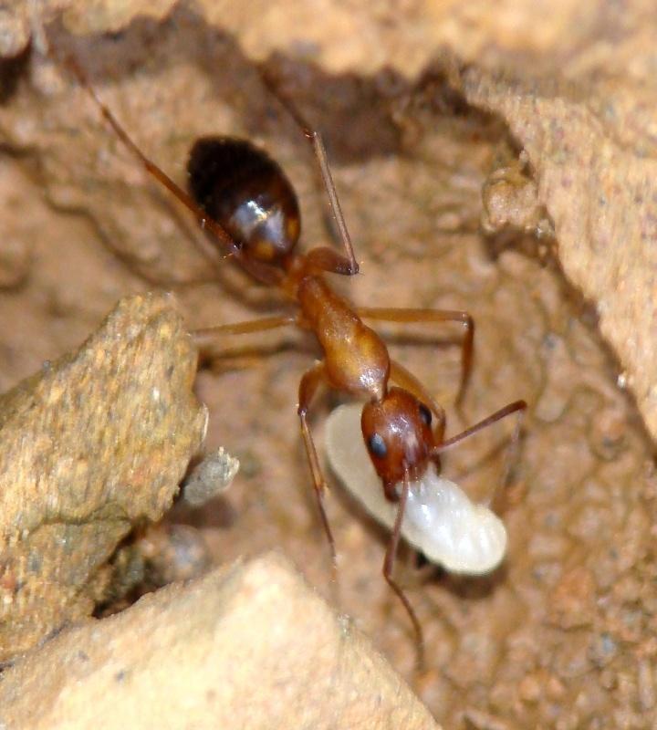 Operária a carregar uma larva © Valter Jacinto