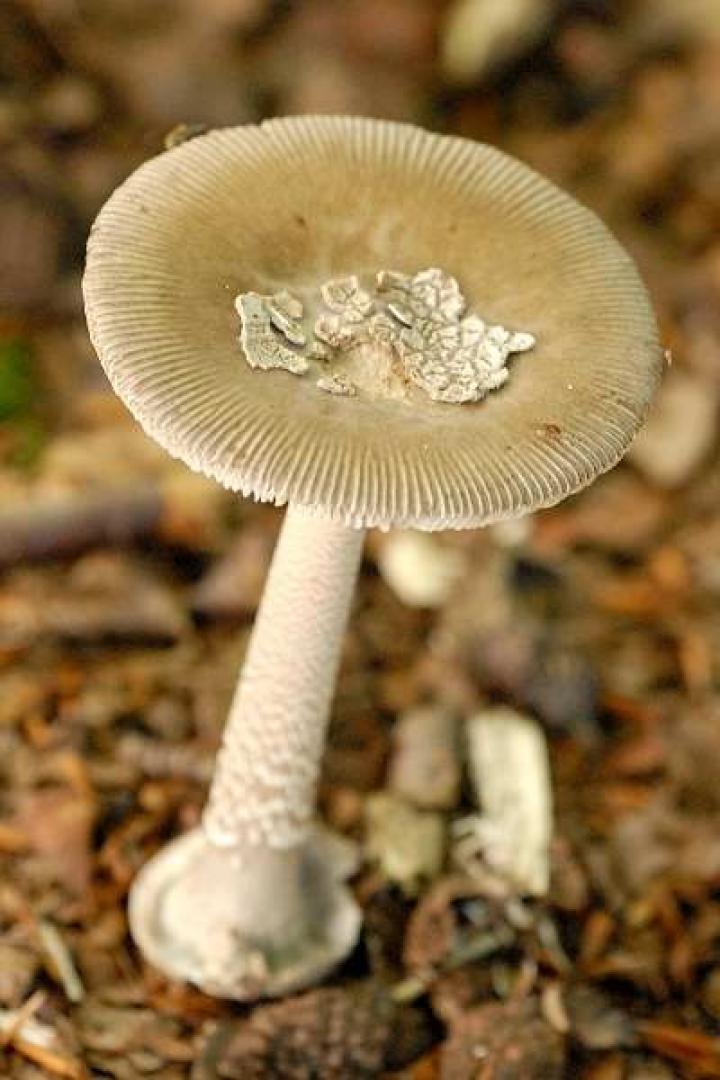 Amanita submembranacea