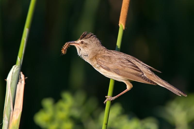 Alimenta-se de insectos © Tomás Martins