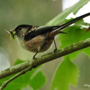 Alimenta-se de insectos e sementes. © Sérgio Esteves