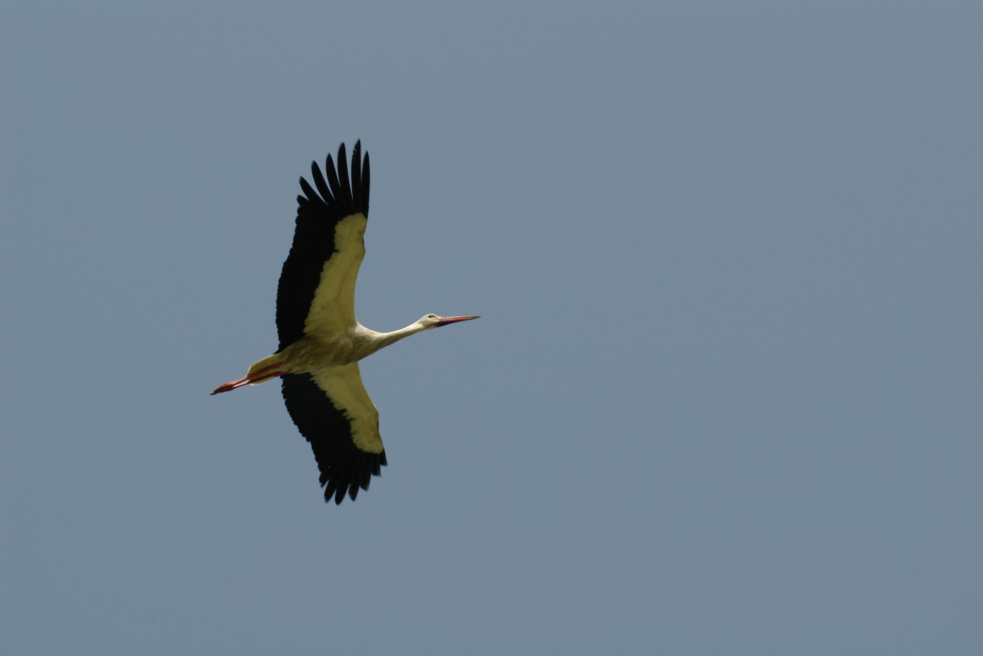 Pescoço comprido, corpo branco com as extremidades das asas pretas, patas e bico compridos e vermelhos. © A.Sousa/Ambiodiv, 2006 - Herdade do Freixo do Meio